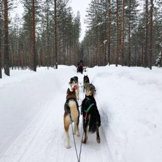 Laponie - chiens de traineaux